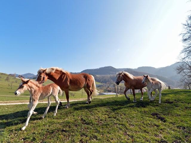Vier Pferde traben über eine Wiese.