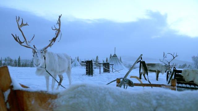 Rentiere neben Schlitten in einer Winterlandschaft.