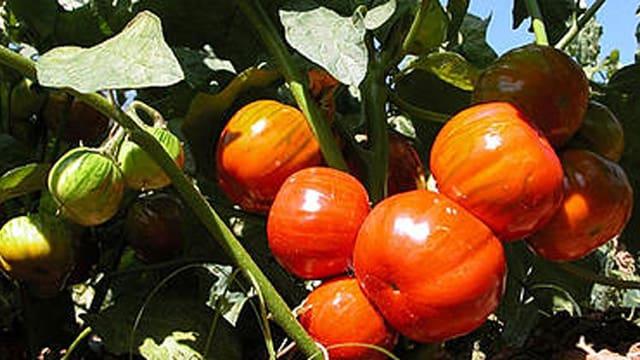 Rote und grüne Auberginen am Strauch