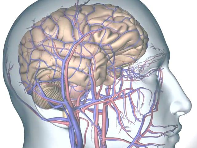 Durchsichtiger Kopf mit Gehirn
