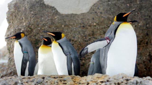 Ils pinguins roials dovran la front polara da l'antarctica per survegnir avunda nutriment.