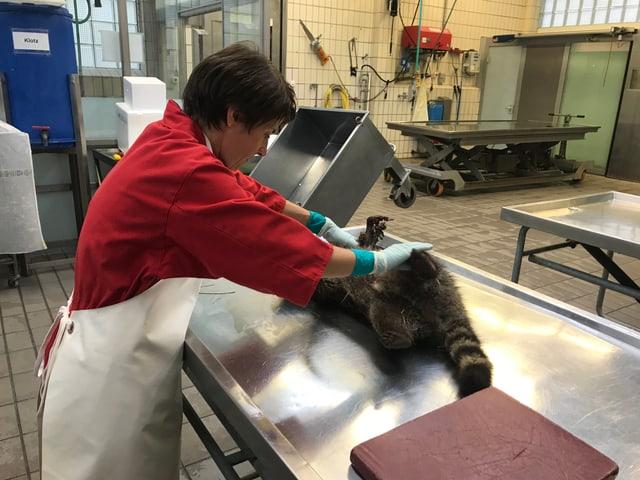 Avant che l'autopsia cumenza dat la scheffa dal center per medischina d'animals selvadias, Marie-Claire Ryser, in egliada sin l'urset american.