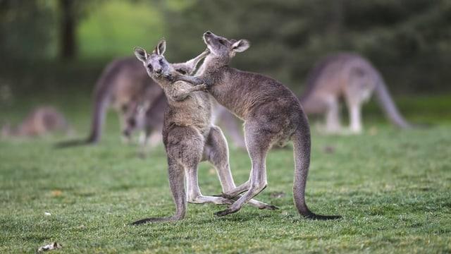 Zwei Kängurus am kämpfen.