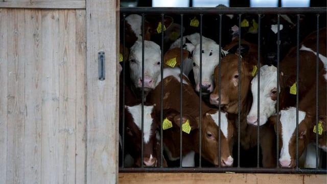 Junge Rinder in einem Stall.