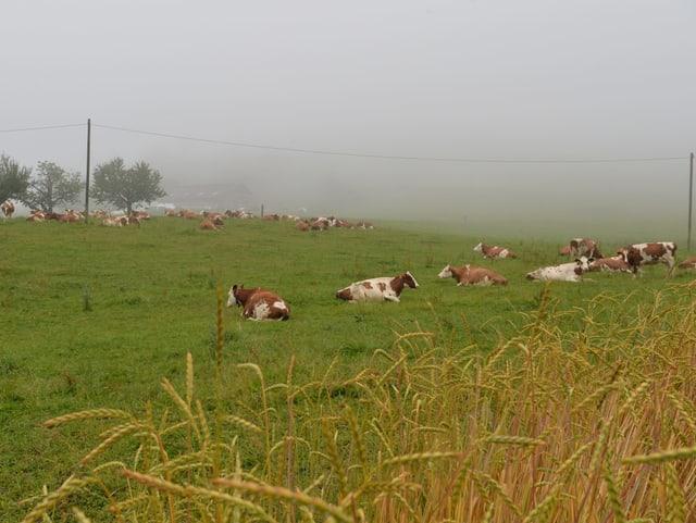 Kühe ruhen auf einer Wiese, der Himmel ist noch grau und wolkenverhangen, die Stimmung erinnert an den Herbst.