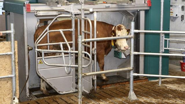 Eine Kuh steht im Melkroboter