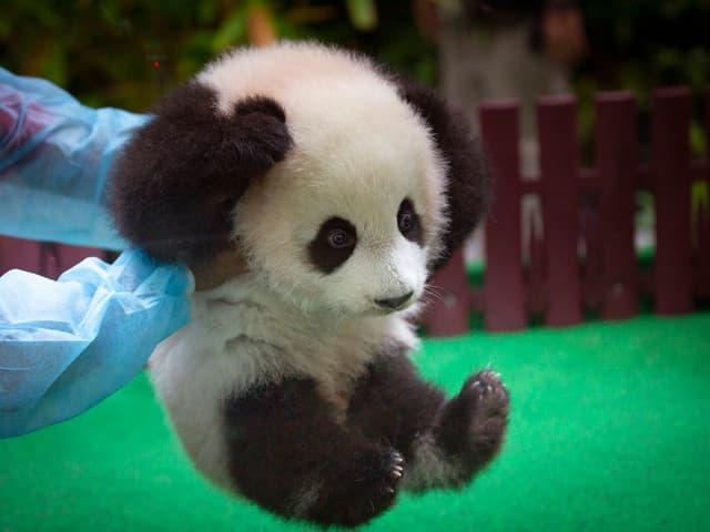 Mann hält Panda