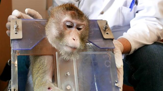 Ein Äffchen steckt in einem Kasten. Dahinter sitzt ein Forscher in weissem Kittel.