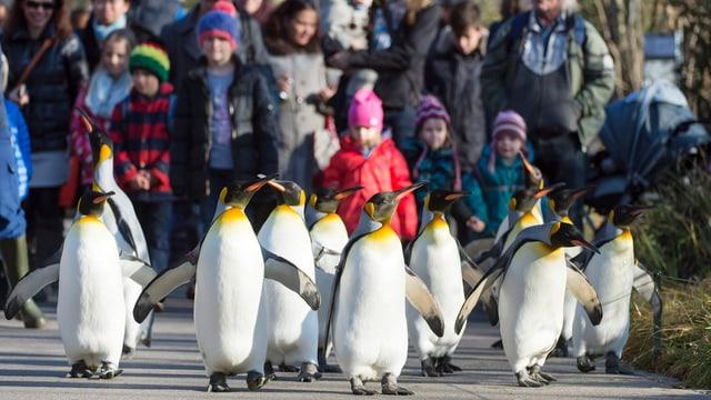 Pinguine auf ihrem Spaziergang durch den Zoo, im Hintergrund Kinder.