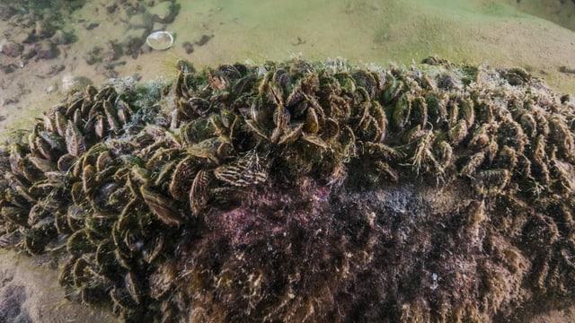 Mit Quagga-Muscheln überwachsener Felsen unter Wasser