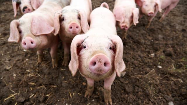 Ein Schwein grunzt in die Kamera.