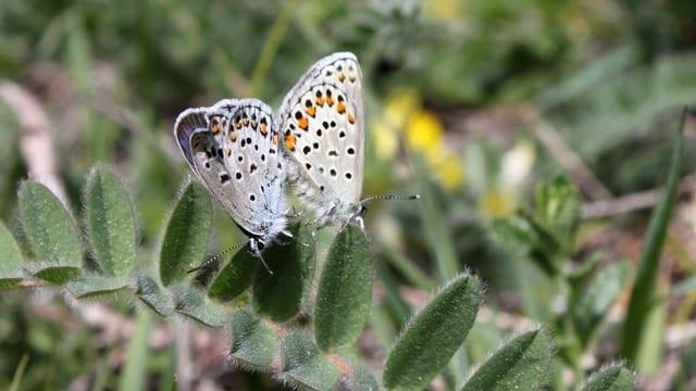 getupfter Schmetterling auf grünem Pflanzenarm