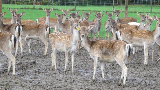 Dutzende Hirsche bei der Aufzucht in Muhen