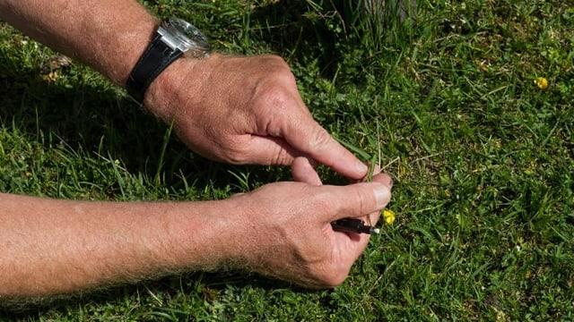 Zwei Hände, die eine Wiesenblume untersuchen.