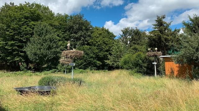 Zwei Storchennester auf schmalen Pfosten in einer Wiese unter freiem Himmel