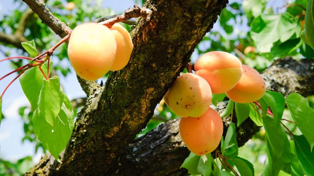 Reife Aprikosen am Baum