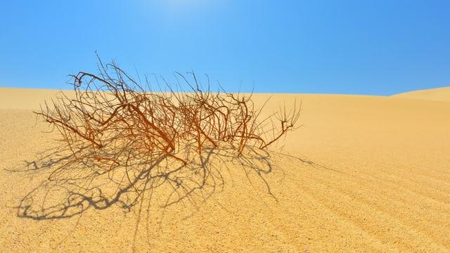 Ein Gebüsch in der Sahara.
