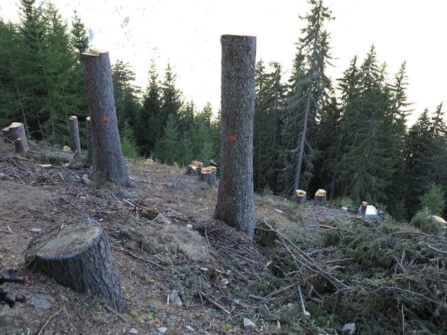 Waldschneide im Goms, Baumstrünke.