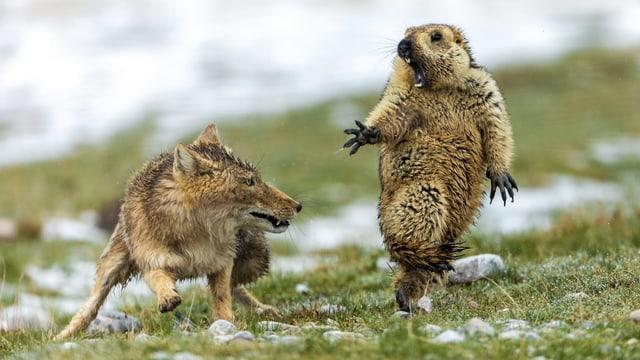 Ein Himalaya-Murmeltier zieht ein erschrockenes Gesicht, neben ihm ein Fuchs mit gefletschten Zähnen.
