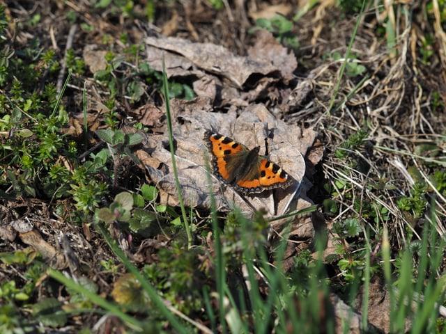 Ein Schmetterling auf einem Stein, breitet die Flügel aus um sich in der Sonne zu wärmen.