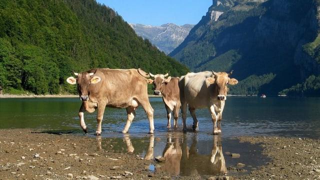 Kühe beim Klöntalersee