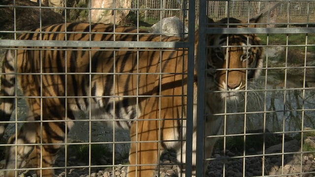 Tiger im Raubtierpark Subingen