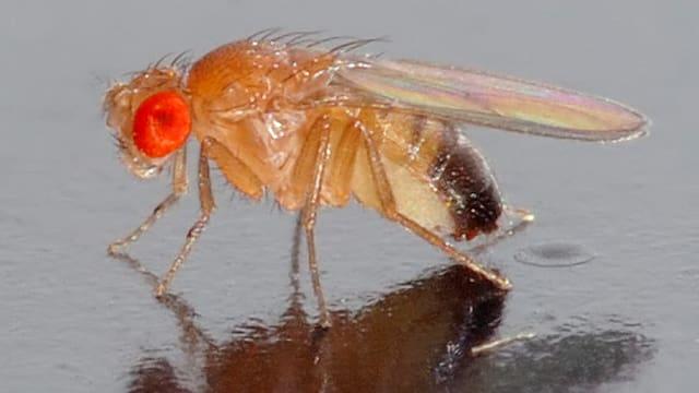 Ein Fruchtfliegenmännchen spiegelt sich auf feuchtem, dunklem Boden.