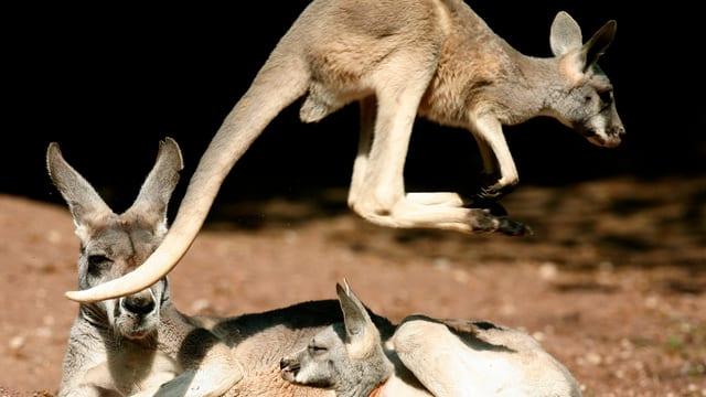 Ein junges Känguru hüpft übermütig an seinem Muttertier vorbei.