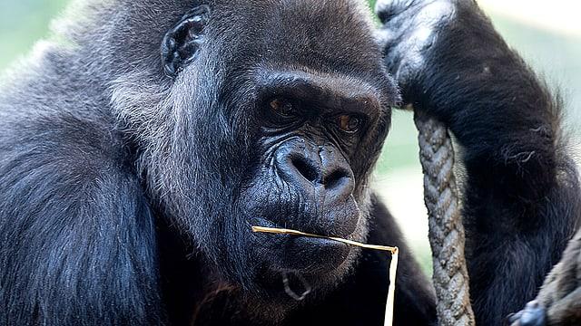 Die Basler Gorilla-Dame Goma kaut auf einem Grashalm.