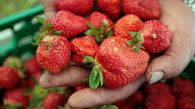 Hand mit Erdbeeren