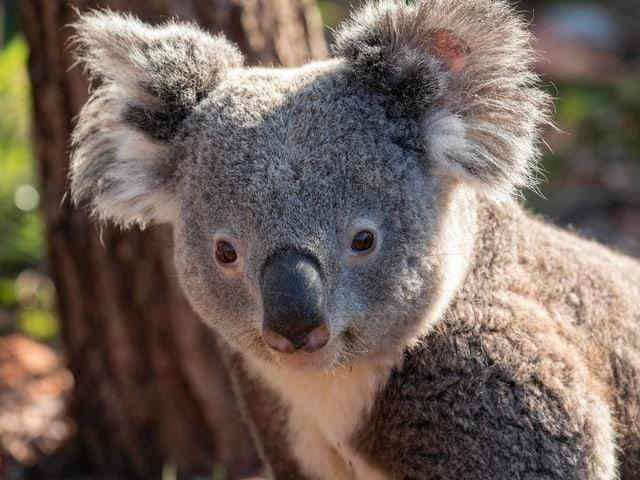 Koala Milo