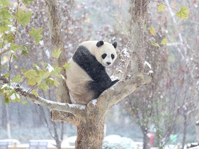 Ein Panterbär sitzt auf einem Baum ,es fällt Schnee.  Foto:  im November in China.