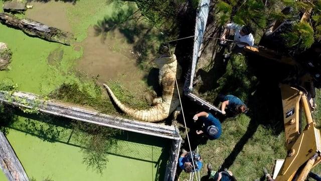 Flugansicht eines Krokodils im Flug Crocodylus Park