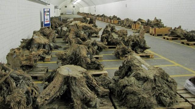 Die gut 200 Wurzelstöcke werden in einem ehemaligen Militärbunker bei konstanter Luftfeuchtigkeit & Temperatur gelagert.