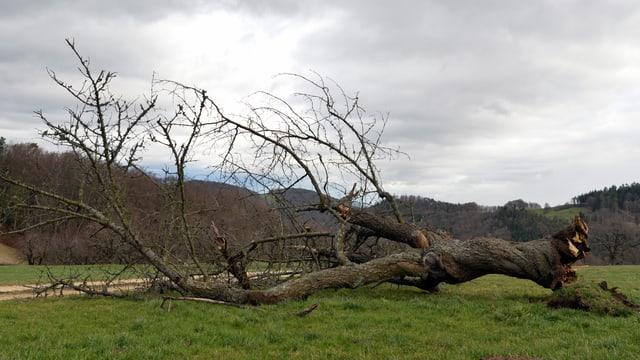 Baum von Sturm umgekinickt auf einer Wiese.