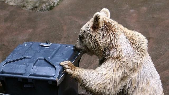 Bär versucht Abfalleimer zu öffnen