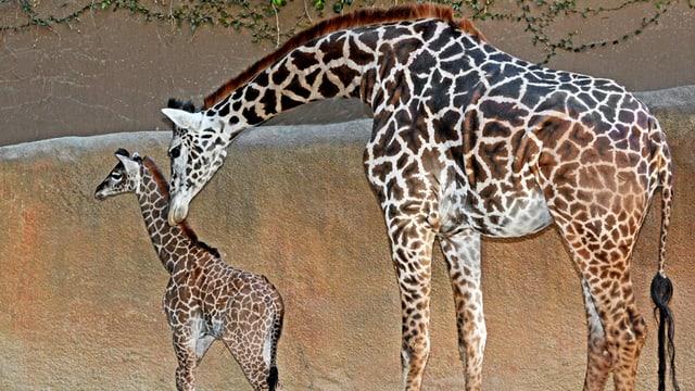 Muttertier beugt sich zu Giraffenjungem herab