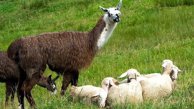 Lamas bewachen Schafe.
