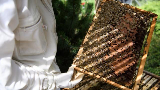 Purtret d'in apicultur che tegna ina patgna cun si avieuls enta maun.
