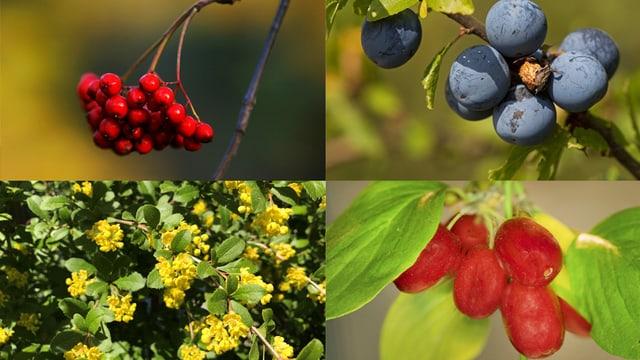 Vogelbeere, Schwarzdorn, Kornelkrische und Blüten der Berberitze.
