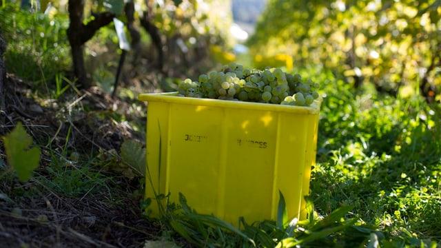 Eine Kiste mit Weintrauben in einem Rebberg
