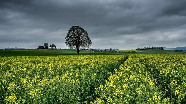 Blühendes Rapsfeld unter dicken Regenwolken am Samstag im Wauwilermoos.