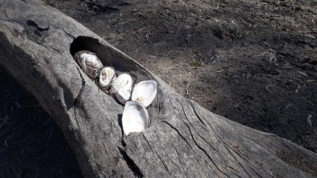 Muschelschalen in einem Baumstamm.