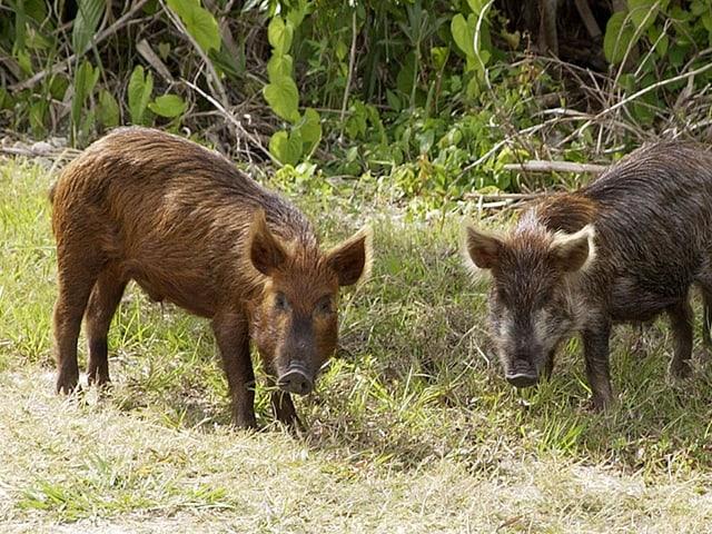 Zwei speziell gezüchtete Schweine für «Game of Thrones».