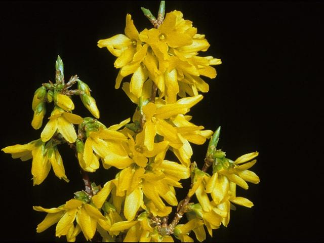 Zweig mit gelben Blühten vor schwarzem Hintergrund.