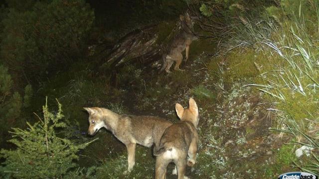 3 Wölfe in der Nacht.