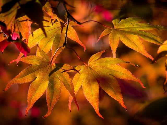 Farbige Ahornblätter