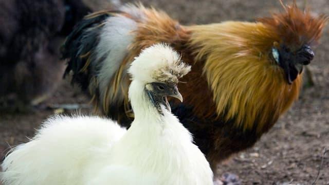 Ein weisses, flauschiges Huhn und ein schwarz, hellbraun, weisser Hahn.