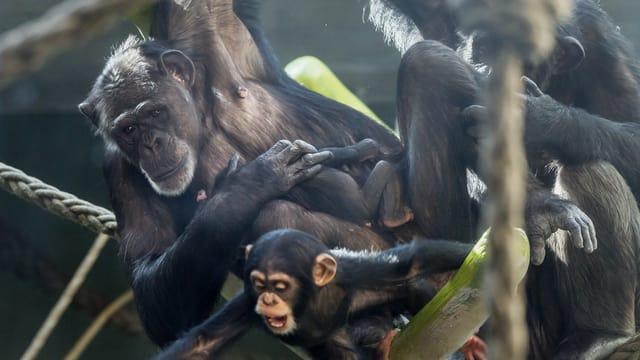 Eine Schimpansen Familie