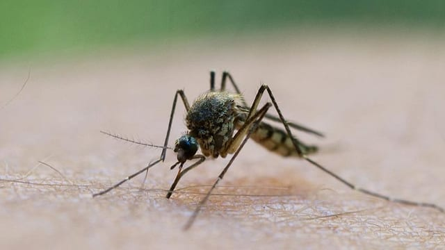 Was lockt eigentlich Stechmücken an?